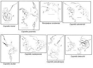 Fig. 1. Especies nuevas de caprélidos descritas por el autor en el Parque Natural del Estrecho y áreas próximas. Escalas: 1 mm