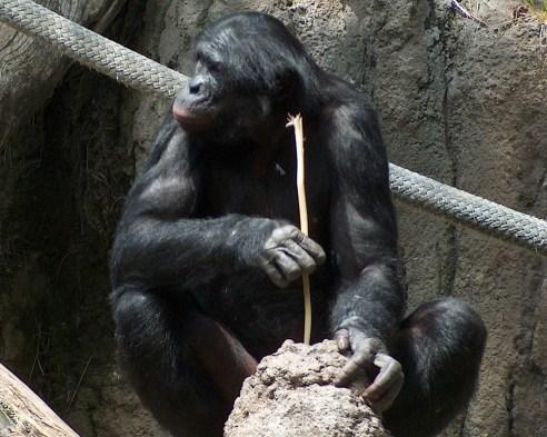 Resultado de imagen de chimpance herramientas